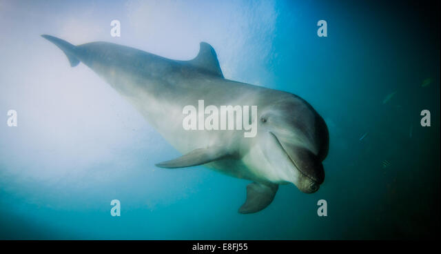 Philippines, Dolphin swimming in ocean - Stock Image