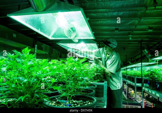 Sean Norton cleans the covers on grow lights in the vegetative room at Medicine Man in Denver. Norton says he's - Stock Image