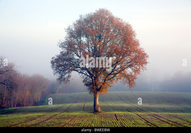 Oak tree in golden autumn coloured leaf on misty morning in newly sewn wheat field in the Weald of Kent UK - Stock Image
