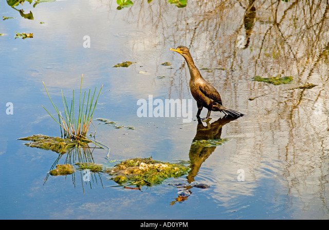 Bird double crested cormorant Florida fl everglades national park - Stock Image