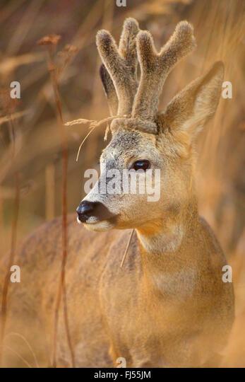 roe deer (Capreolus capreolus), buck, horns with velvet, Germany, Brandenburg - Stock Image
