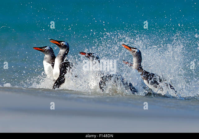 Gentoo penguins (Pygoscelis papua) surfing onto beach, Carcass Island, Falkland Islands. - Stock Image