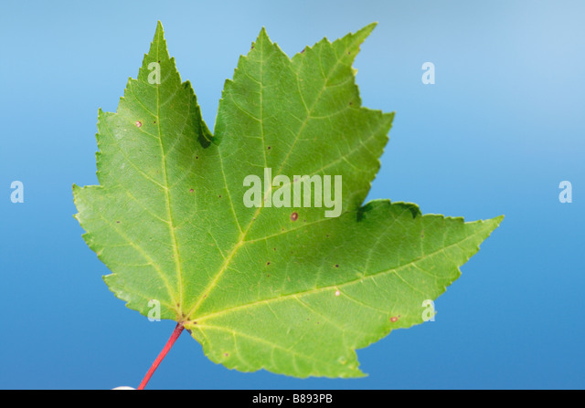 a red maple leaf - Stock Image