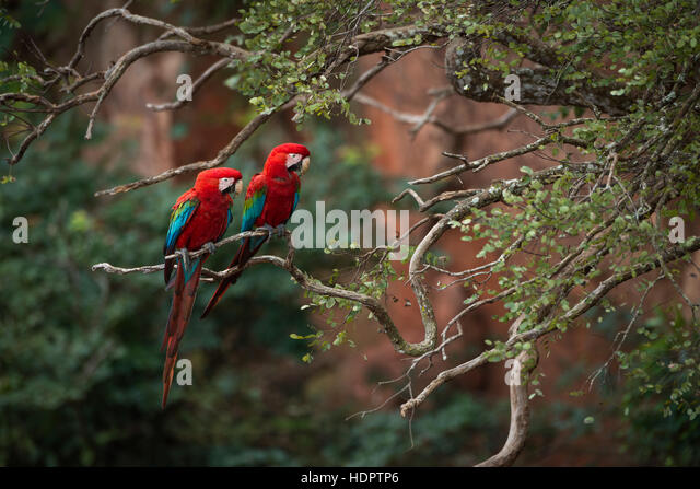 A breeding pair of Red-and-green Macaws perched on a tree with sandstone cliffs in the background - Stock Image
