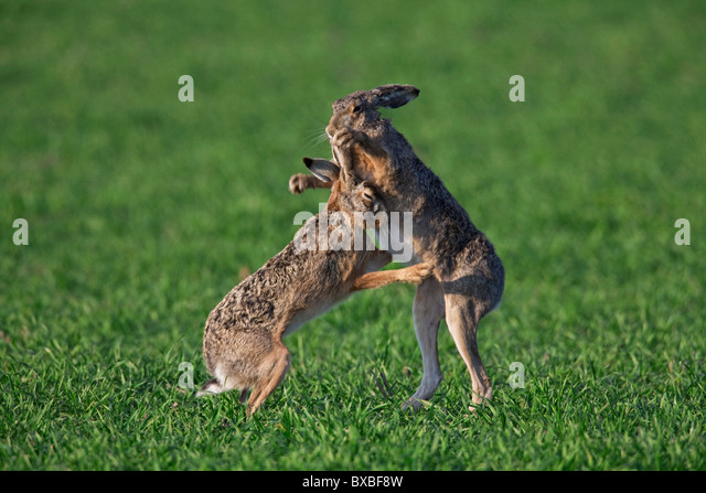 European Brown Hares (Lepus europaeus) boxing / fighting in field during the breeding season, Germany - Stock Image