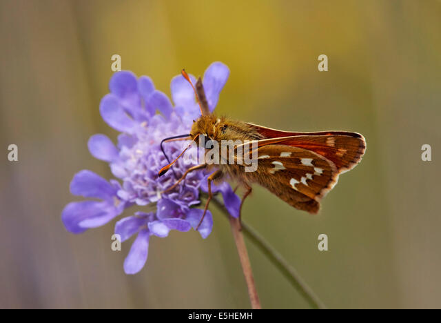 Silver-Spotted Skipper butterfly feeding on Field Scabious. Denbies Hillside, Ranmore Common, Surrey, England. - Stock Image