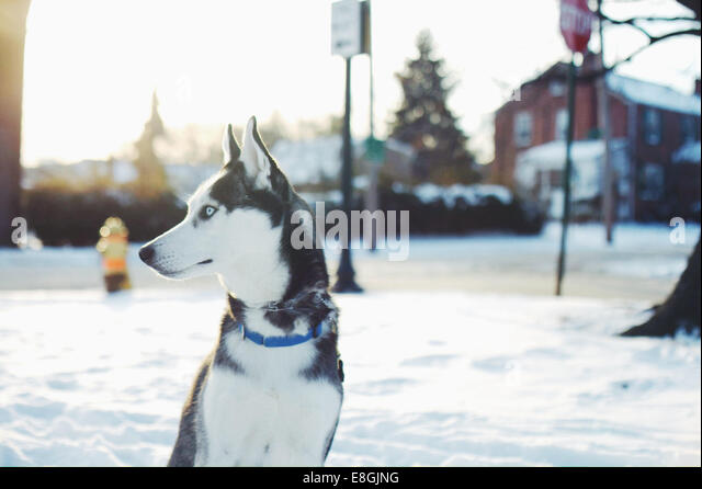 USA, Delaware, New Castle County, Wilmington, Husky dog on guard - Stock Image