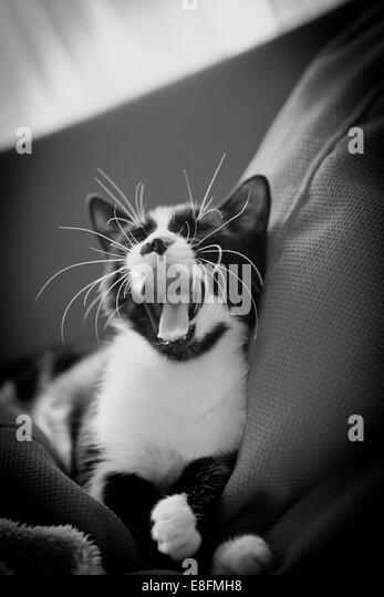 Turkey, Istanbul, Cat yawning - Stock Image