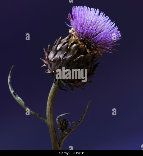 Cynara scolymus Artichoke - Stock Image