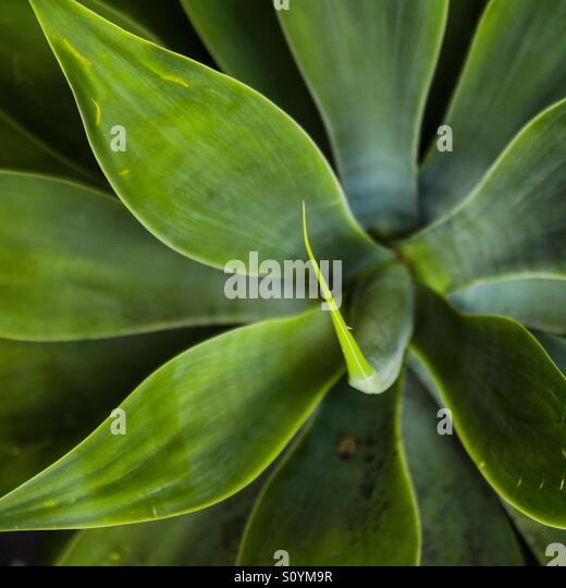 Green succulent - Stock Image