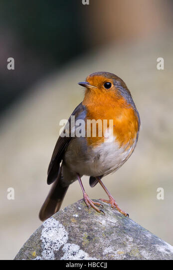 London, UK. 5th December, 2016. A robin (Erithacus rubecula) basks in the sunshine in an east London park this afternoon. - Stock Image