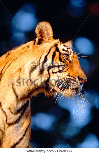 Bengal Tiger, Ranthambhore National Park, India - Stock Image