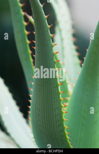 Aloe glauca 'blue aloe' plant abstract - Stock-Bilder