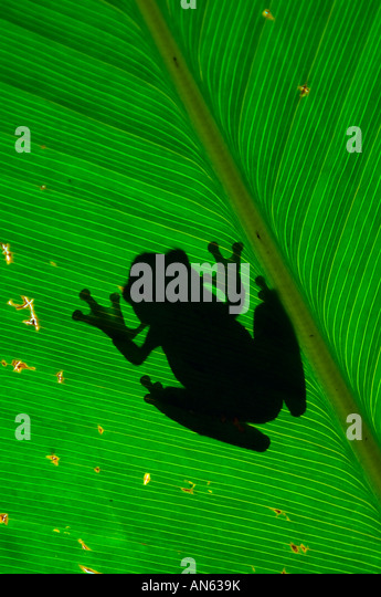 Tree frog silhouette on leaf - Stock Image