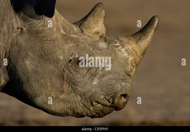 Black Rhino Portrait, Etosha National Park, Namibia. - Stock Image