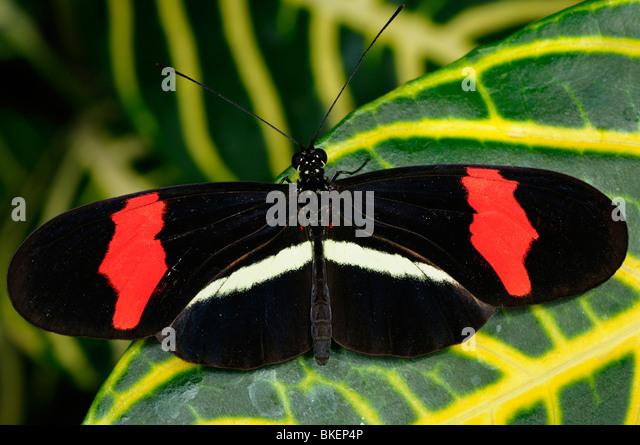 Red Postman Heliconius Erato butterfly on Sanchezia nobilis tropical plant leaf - Stock Image