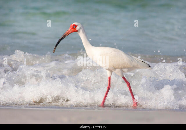 white ibis (Eudocimus albus), searching food in the drift line in front of the breaking of the waves, USA, Florida, - Stock-Bilder
