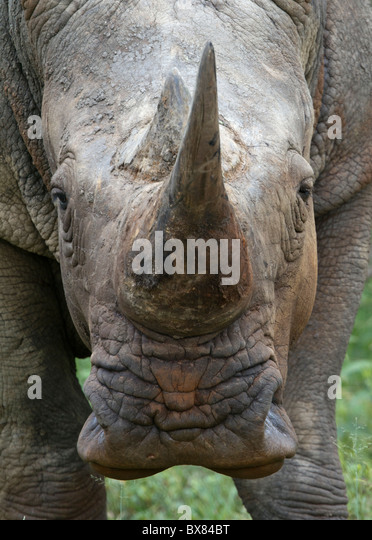 White or square-lipped rhinoceros (Ceratotherium simum) lookins straight at the camera - Stock Image