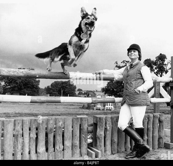 Jed the Alsatian Dog jumping over showjumping fence 1984 - Stock Image