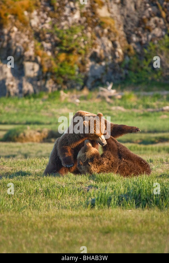 Two brown bears play fighting, Katmai National Park, Southwest Alaska - Stock Image