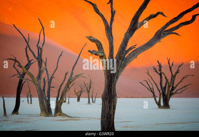 Deadvlei is a white clay pan located near the more famous salt pan of Sossusvlei, inside the Namib-Naukluft Park - Stock Image