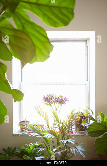 Variety of house plants in front of window, indoors - Stock Image