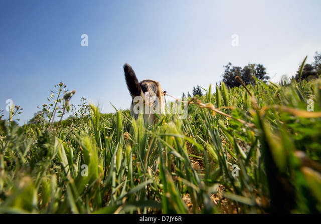Low angle and back view of cat prowling in the outdoors in the grounds of the Cat House on the Kings in Parlier - Stock Image