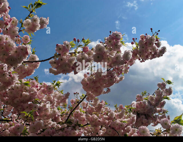 Sunlit light pink cherry blossoms against clouds and blue sky. - Stock Image