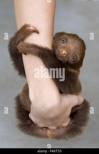 Hoffmann's Two-toed Sloth (Choloepus hoffmanni) orphan baby clinging to person's arms, Aviarios Sloth Sanctuary, - Stock Image