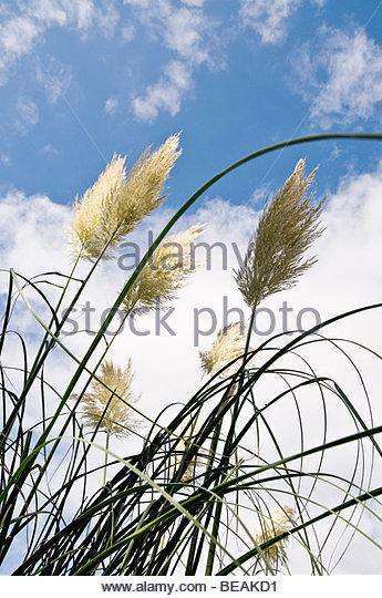 Pampa feathers - Stock Image