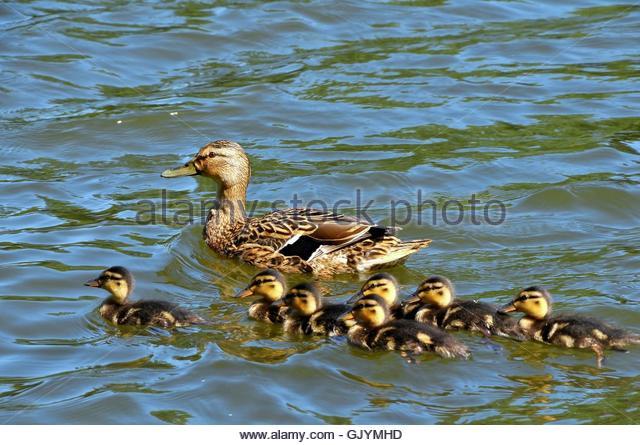 entenfamilie - Stock Image