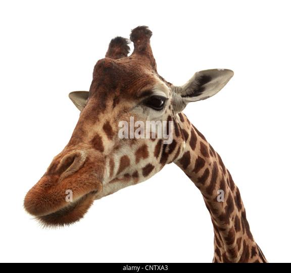 Curious funny giraffe - Stock Image