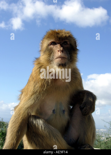 Adult female Gibraltar Ape (Macaca sylvanus L), Upper Rock Nature Reserve, Gibraltar, Europe - Stock Image