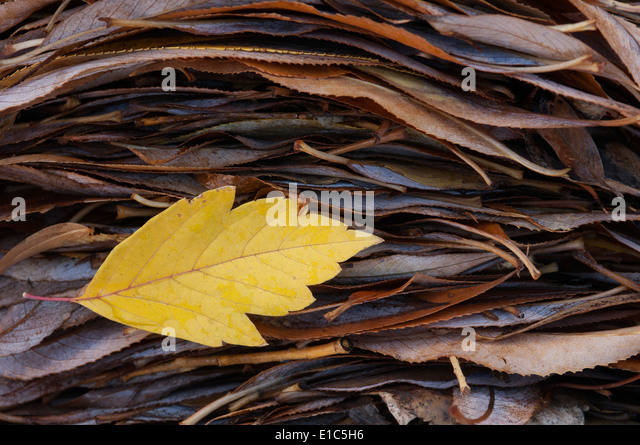 A single leaf on top of a pile of leaves in autumn. - Stock Image