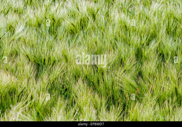 Winter Barley covered in morning dew - France. - Stock Image