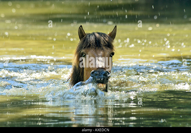 Icelandic horse - swimming - Stock Image