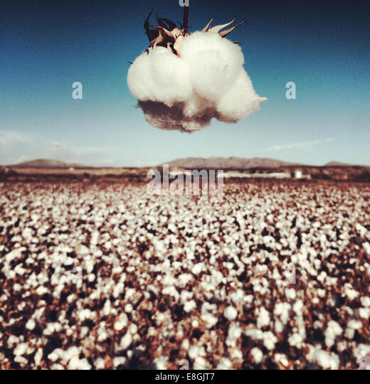 USA, New Mexico, Hatch, View of Cotton Field - Stock Image