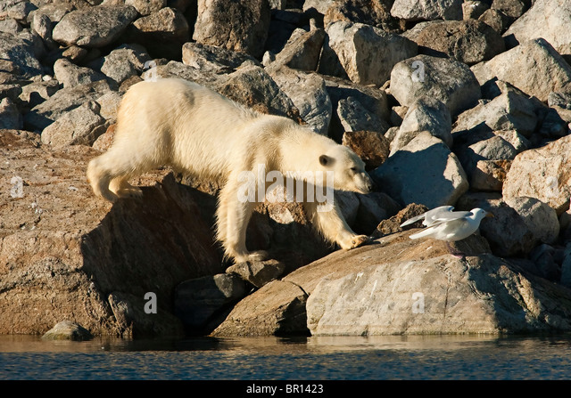 POLAR BEAR (Ursus maritimus) walking over boulders on seashore - Stock Image