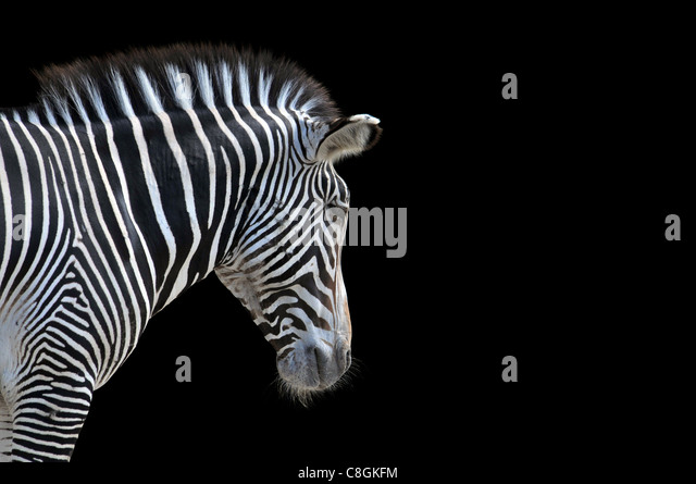 Portrait of Zebra isolated on a black background with space for text - Stock Image