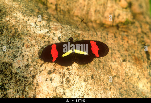 The Red Postman or Crimson-patched Longwing Butterfly, (Heliconius erato petiverana), dorsal view, S TX, E Mexico - Stock Image