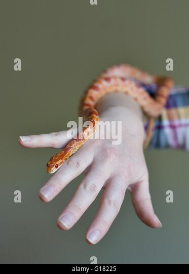 A person with a corn snake. - Stock Image