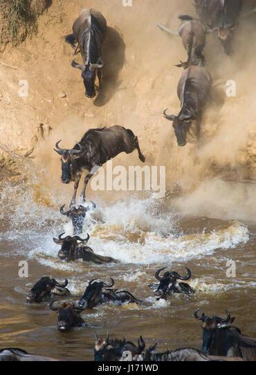 Wildebeest jumping into Mara River. Great Migration. Kenya. Tanzania. Masai Mara National Park. An excellent illustration. - Stock Image