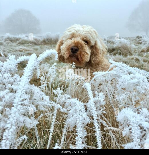 Snow dog - Stock Image