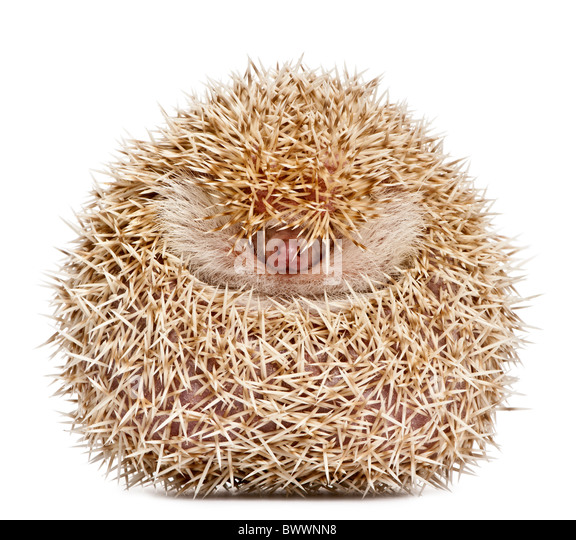 Four-toed Hedgehog, Atelerix albiventris, 2 years old, balled up in front of white background - Stock-Bilder