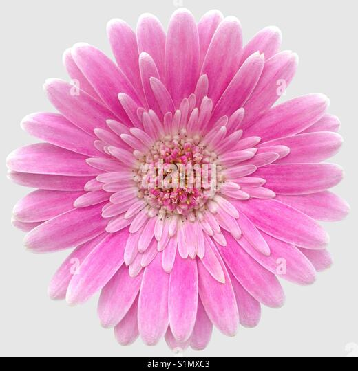 A pink Gerbera Germini flower isolated on a light gray background - Stock Image