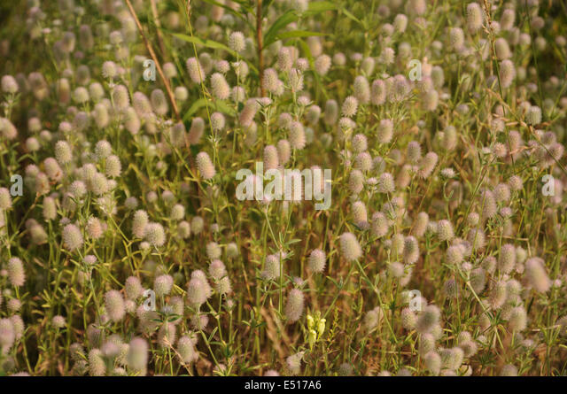 Stone Clover Stock Photos Amp Stone Clover Stock Images