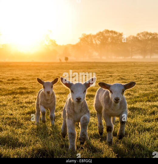 Three lambs running in a field at sunset, England, UK - Stock Image