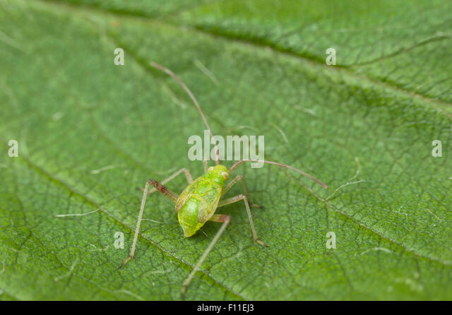 Mirid bug nymph (juvenile) - Stock Image