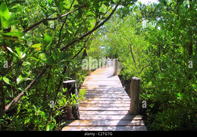 mangrove forest walkway jungle Quintana Roo mexico - Stock-Bilder