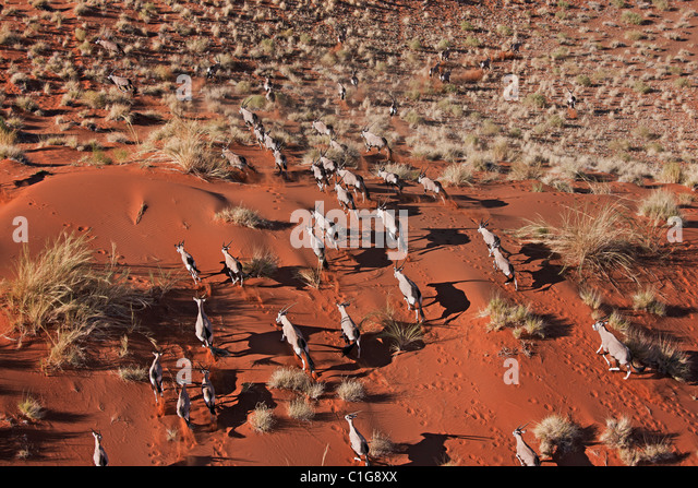 Gemsbok (Oryx gazella) In typical desert habitat Namibian desert - Stock Image